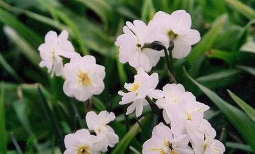 Custom Garden Designs Daffodils