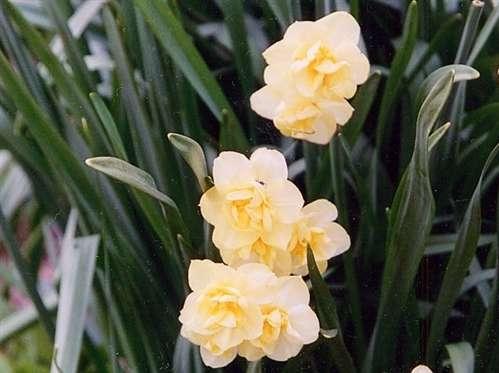 Custom Garden Designs Daffodils 2
