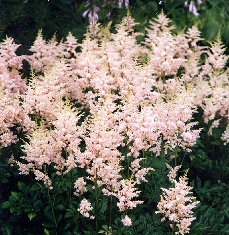 Custom garden designs great resources astilbes photo of astilbe sprite shell pink a 12 mightylinksfo