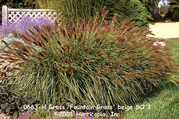 Custom garden designs great resources grasses for Blue fountain grass