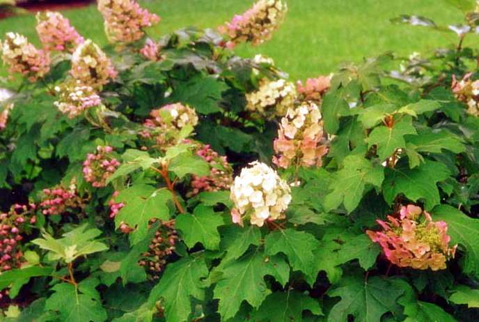 Custom Garden Designs - Great Resources - Hydrangea Shrubs
