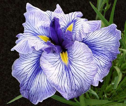 Related Keywords Amp Suggestions For Japanese Irises
