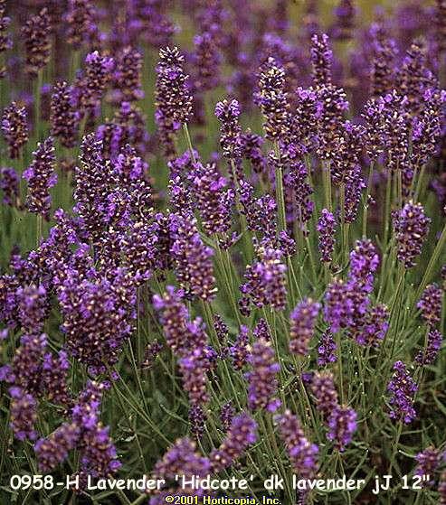 Lavandula Hidcote Blue Lavender
