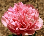 Photo of a Peony - Salmon Glory