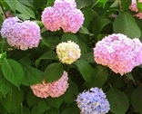 Photo of a Hydrangea - Pink, Purple, Blue - Nikko Blue Variety