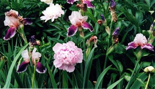 Photo of an English Garden Example - Peonies & Bearded Iris